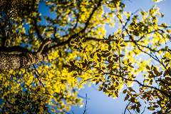 Leaf or let die ! (Kevin STRAGLIATI) Tags: wood blue light vacation sky sun france tree green nature leaves forest leaf bokeh hiking south hike lookingup foliage ardeche