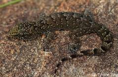 Afroedura amatolica - Amatola Flat Gecko. Hogsback Eastern Cape. (Tyrone Ping) Tags: wild field canon flat 7d cape gecko eastern f28 herps eup clos herping 100mmmacrof28 amatola afroedura tyroneping wwwtyronepingcoza amatolica hogsb