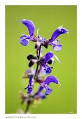 AAA_2624R (lucabattilucabatti) Tags: verde blu fiore maro oderzo