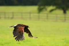 Along The Home Straight...... (klythawk) Tags: brown white black tree green nature grass yellow fence inflight nikon nottinghamshire birdofprey newsteadabbey harrisshawk parabuteounicinctus d7100 klythawk 300mmpf