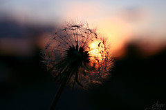 Wishes (HopeSnapshots) Tags: life sunset flower up closeup photography still dof close bokeh dandelion depthoffield wishes wish conceptual
