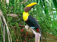 P4268701 (lychee_vanilla) Tags: bird animal toucan costarica tier tucn blackmandibledtoucan ramphastosambiguus vigel quioro tucnpiconegro