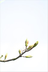 Buds (haberlea) Tags: white tree green nature branch onwhite