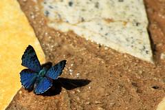 O colorido da sombra (Jonathan Carias e Sil Manu) Tags: brazil bird brasil butterfly natural natureza fotografia pssaros mata borboletas vegetao amaznia brasi