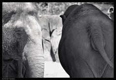 heads 'n' tails (Neil Tackaberry) Tags: bw usa elephant texture monochrome animal gardens tampa florida neil heads tails buschgardens busch tackaberry neiltackaberry