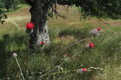 Cirsium occidentale var. venustum, RED THISTLE. (openspacer) Tags: thistle cirsium asteraceae henrycoestatepark orestimbawilderness