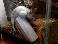 DSCN1013 (therovingeye) Tags: pets animals gerbil rodents gerbilhabitat