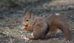 DSC08420rawcon_a (ger hadem) Tags: veluwe zwijn eekhoorn gerhadem