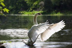 Conductor (cuppyuppycake) Tags: park england lake bird london nature swan wings pond outdoor wildlife wanstead
