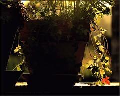 A Slight Chance Of Rain In This Melancholic Afternoon (Konny D.) Tags: flowerpot backlit blumentopf gegenlicht plantpot bloempot potdefleur blomsterpotte blomkruka fioriera kukkaruukku retroilluminato rtroclair taustavalaistu potfleurs retroiluminada emcontraluz bakgrundsbelyst albahaquero podwietlany