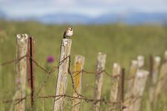 Fence Line (Eastbaygirl925) Tags: ranch nature colors birds landscape soft sanfranciscobayarea fencepost hornedlark bayareanature bayareahills maxwellcrew eastbaygirl