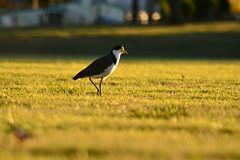 Masked Lapwing (Luke6876) Tags: sunlight bird field animal wildlife plover australianwildlife maskedlapwing