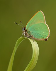 Green Hairstreak (Jillandcamera) Tags: butterfly greenhairstreak donnanook