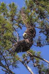Berry College Female Bald Eagle 1 (Jason Blalock) Tags: bird eagle baldeagle raptor haliaeetusleucocephalus birdofprey americanbaldeagle berrycollege berrycollegeeagle