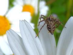 HBBBT! Oxyopes heterophthalmus (bego vega) Tags: madrid macro animal spider butt araa vega vf bv bego arachnida oxyopes arcnido bbbt heterophthalmus hbbbt