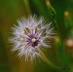 5-15-16 (17) Dandelion Macro (KatieKal) Tags: green purple dandelion seedpod canonmacrolens canon60d