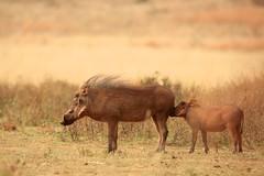 mmmm, smells good! (peet-astn) Tags: southafrica good johannesburg smells smellsgood rhinoandlionnaturereserve