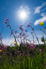 Ragged-robin (Mister Oy) Tags: sun nature meadow lancashire flare sunburst wildflowers raggedrobin davegreen glasson glassondock oyphotos fujixt1 fuji1024mm oyphotos