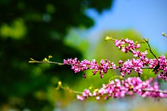 Spring Flowers (AncasterZ) Tags: pink flower spring blossom bokeh ef85mmf18usm