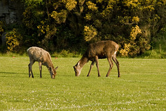Red Deer (StickyToffeeQueen) Tags: deer sutherland grazing