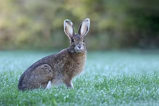 Lièvre d'Amérique / Snowshoe hare