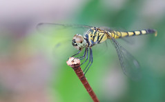 Green Bliss - Dragon Fly (eneron9) Tags: world wild color colour macro green nature animal closeup insect fly wings stem peace dragon close bokeh earth wildlife conservation depthoffield silence planet flies environment meditation shallow colourful bliss hue animalplanet creamy arthropod
