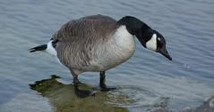 Canada Goose (Branta canadensis) (ekroc101) Tags: ontario birds canadagoose brantacanadensis portdalhousie