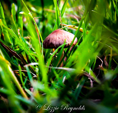 Day 173, 2016, a photo a day. (lizzieisdizzy) Tags: outside blades grass stalks greengrass fungi mushroom toadstool small capped umrellashaped