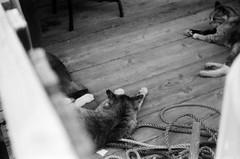 (selves) (Dinasty_Oomae) Tags: blackandwhite bw monochrome cat blackwhite kodak outdoor chiba  retinette ichikawa