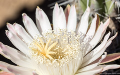 Baja California Sur, Mar de Cortez-16.jpg (gaillard.galopere) Tags: cactus flower beautiful mexico bajacalifornia baja bajacaliforniasur fleurdecactus gaillardgalopere mexcapade