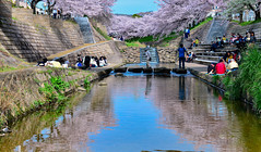 (DSC_4948) (nans0410(busy)) Tags: pink people reflection japan cherry outdoors scenery blossom  sakura nara kansai         kinkiarea tomiokawa