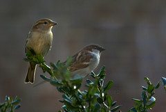 "2012_366056 - Sparrows • <a style=""font-size:0.8em;"" href=""http://www.flickr.com/photos/84668659@N00/6792069182/"" target=""_blank"">View on Flickr</a>"