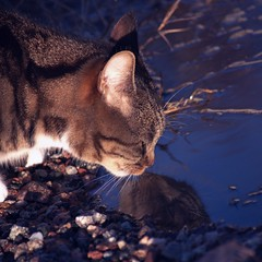 Reflection (Kim Ledin) Tags: reflection water cat spring sweden drinking eskilstuna smilla bestofcats