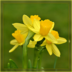 Happy St David`s Day (Eleanor (WHU)) Tags: yellow garden spring daffodil floralia floralfantasy flowersflowersflowers mixedflowers perfectpetals flowersarebeautiful worldofflowers flickrsawesomeblossoms floresymasflores unforgettableflowers addictedtoflowers flowersonflickr flowersarebeautifu weallloveflowers anaturecanvas beautifulflowergroup flowers4you brigettesbeautifulnaturegallery flowerblossomgroup floraandfaunainthespotlight