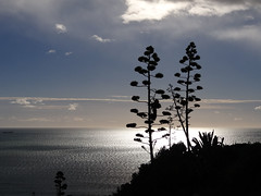 The calm before the storm (Home Land & Sea) Tags: sea newzealand sky silhouette nz napier sonycybershot hawkesbay agaveamericana centuryplants bluffhilllookout theresastormcoming homelandsea dschx100v