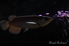 RTG Arowana (Raoul Rutnam) Tags: red fish golden dragon tail rtg arowana
