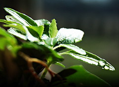 Plant (*janh*) Tags: light plant water march drop drip photochallenge