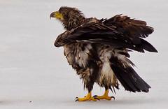 IMGL3708 Juvenile Bald Eagle (Wallace River) Tags: specanimal birdperfect