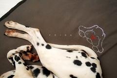Frida (kozumel) Tags: sleeping dog pet brown white black blanco female 35mm bed nikon heart legs negro frida perro patas february cama nido corazn febrero mascota dalmatian pelo 2012 perra marrn 366 kozumel camiloruedalopez camera:brand=nikon flickr:user=kozumel flickr:user=42962212n00 nikond7000 twitter:user=kozumel lastfm:user=kozumel web:site=kozumelinfo camera:manufacturer=nikon flickr:userid=42962212n00 twitter:username=kozumel dopplr:traveller=kozumel flickr:userid=kozumel camiloruedalpez
