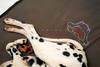Frida (kozumel) Tags: sleeping dog pet brown white black blanco female 35mm bed nikon heart legs negro frida perro patas february cama nido corazón febrero mascota dalmatian pelo 2012 perra marrón 366 kozumel camiloruedalopez camera:brand=nikon flickr:user=kozumel flickr:user=42962212n00 nikond7000 twitter:user=kozumel lastfm:user=kozumel web:site=kozumelinfo camera:manufacturer=nikon flickr:userid=42962212n00 twitter:username=kozumel dopplr:traveller=kozumel flickr:userid=kozumel camiloruedalópez