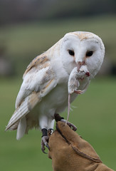 barn owl with mouse (dave-watterson) Tags: owls worldowltrust