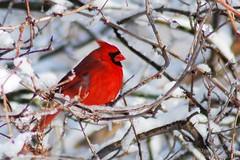 Wintery Cardnal (flores.david84) Tags: winter snow nature birds wisconsin nikon cardinal oakcreek d80