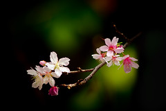 """富士櫻 (Fu-yi) Tags: flowers color minolta sony taiwan 328 300mm taipei alpha 花 dslr 台灣 陽明山 植物 yangmingshan 花朵 寒桜 櫻花 台北市 rosaceae formosan 顏色 富士櫻 カンザクラ prunusincisa 薔薇科 福爾摩沙 熱海桜 ザクラ """"flickraward"""" アタミザクラ 寒櫻 """"flickraward5"""" """"flickrawardgallery"""" 豆櫻"""