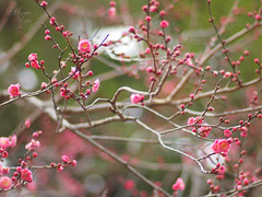 (©Marie Eve K.A.❦ (away..)) Tags: blur flower tree nature japan kyoto dof bokeh f14 85mm teaceremony annual olympuspen 2012 planar ep2 nodate plumblossoms baikasai carlzeiss feb25 kitanotenmangushrine february25th outdoorteaparty plumblossomsfestival plumflowersfestival