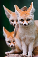 Three cute fennecs! (Tambako the Jaguar) Tags: portrait cute zoo switzerland three nikon sitting desert luzern posing ears explore fox rothenburg tonis fennec d700