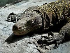 Crocodile Monitor Lizard (annkelliott) Tags: canada calgary nature lumix pattern reptile details indoors alberta animalplanet calgaryzoo creaturesofthenight protected newguinea cites australiahouse beautyinnature varanussalvadorii annkelliott crocodilemonitorlizard fz28 dmcfz28 panasonicdmcfz28 p1360489fz28