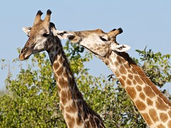 Frisky Giraffes (sole.r) Tags: africa safari giraffe botswana frisky herbivore specanimal dubaplains interestingbehaviour
