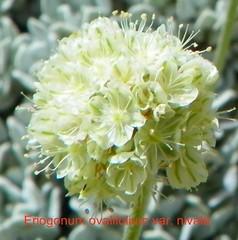 Eriogonum ovalifolium var. nivale 100_1213 (sierrarainshadow) Tags: eriogonum sedum var ovalifolium nivale lanceolatum