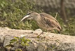 Pond Heron with a large catch.....