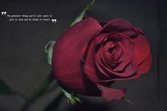 Love (Lee Howard 14) Tags: red roses flower love rose photoshop vintage nikon quote amor valentine romance valentines d3100